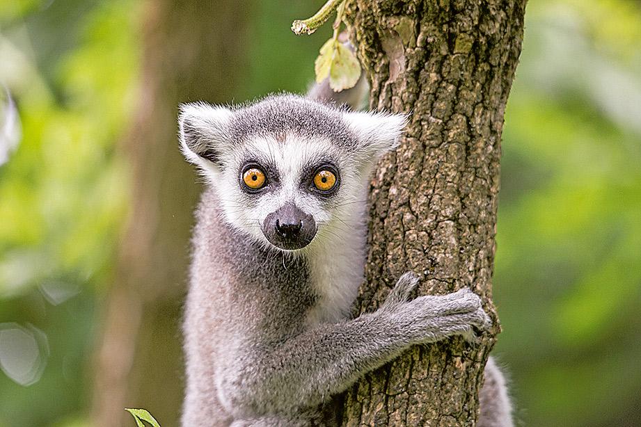 Ein Lemur schaut niegierig entgegen.